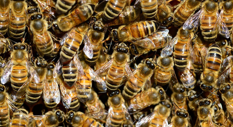 A Warming World May Spell Bad News for Honey Bees