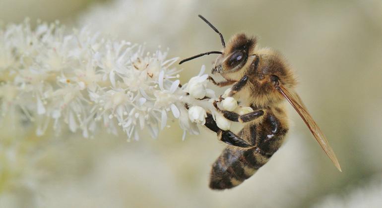 pflanzen für hungrige bienen - sonnenseite - Ökologische