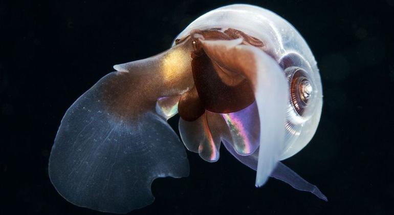 Alexander Semenov | clione.ru | pik-potsdam.de | Die Kalkschalen von Plankton wie Pteropods, winzigen Flügelschnecken, können sich durch die Ozeanversauerung auflösen.