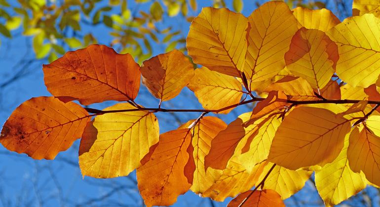 Was Laubblätter im Herbst altern lässt