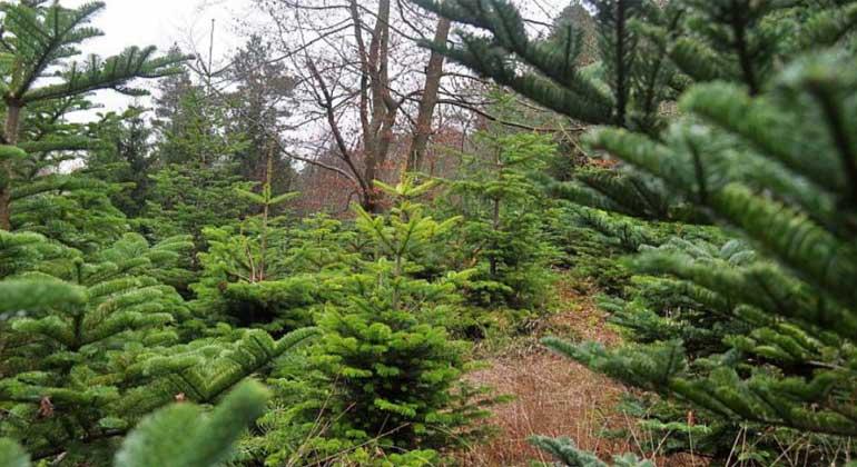 Kein Gift im Wohnzimmer: FSC-zertifizierte Weihnachtsbäume als ökologische Alternative