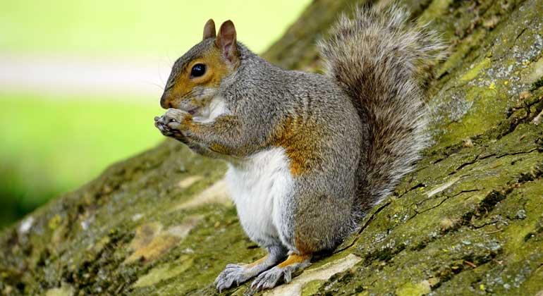 pixabay.com | MikeBird | Das Grauhörnchen kommt ursprünglich aus Nordamerika und wurde an mehreren Stellen rund um den Globus, darunter Großbritannien, eingebürgert. Dort hat es großräumig das einheimische Europäische Eichhörnchen verdrängt.