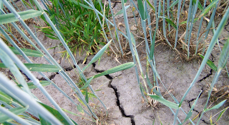 pixelio.de | Verena-N | Trockenheit kann die Nahrungsproduktion schädigen.