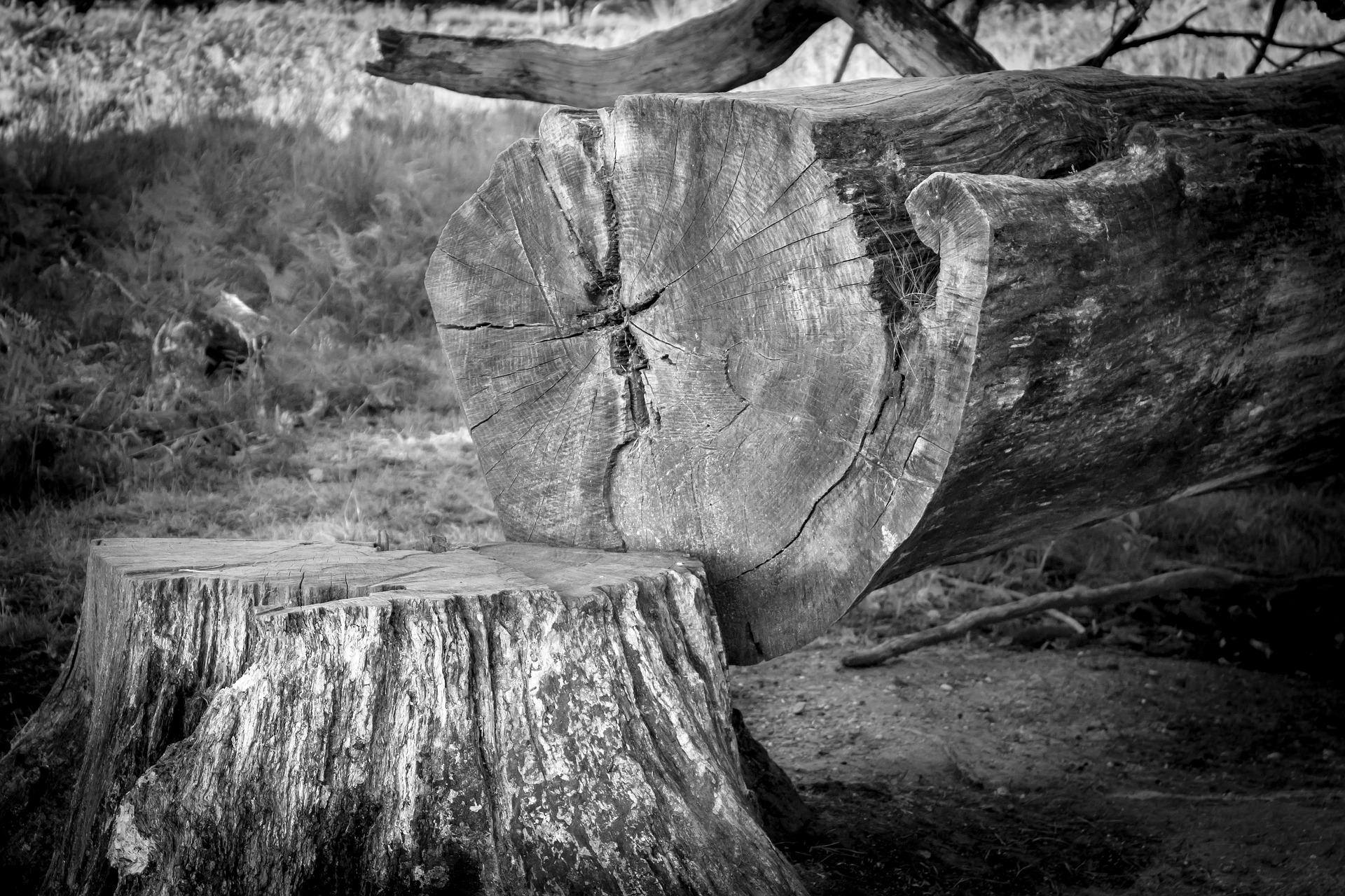 pixabay.com | Didgeman | Toter Baum: Dieser ist geeignet für Bio-Ölgewinnung