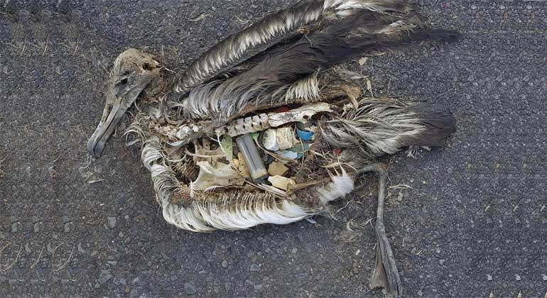 WikimediaCommons   Chris Jordan (via U.S. Fish and Wildlife Service Headquarters) / CC BY 2.0   Die unveränderten Mageninhalte eines toten Albatross-Jungen, aufgenommen im September 2009 im Midway Atoll National Wildlife Refuge im Pazifik mit Plastik-Treibgut, das dem Jungtier von seinen Eltern gefüttert wurde.