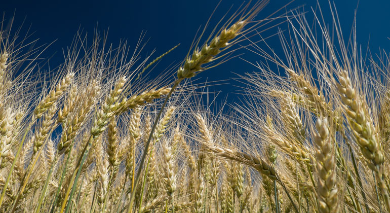 pixelio.de | JakobEhrhardt | Eiweißmangel: Nährwert von Weizen sinkt