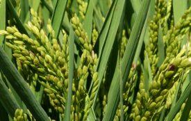 pixabay.com | makamuki0 | Reispflanzen
