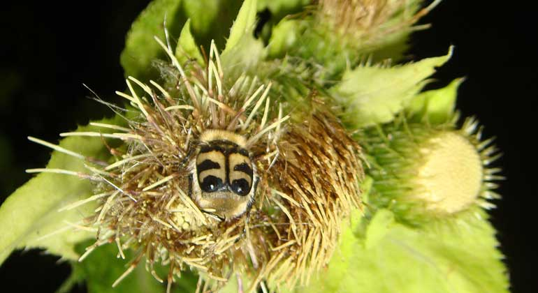 UniBE/Eva Knop | Nocturnal flower visitor on thistle: Beetle actively moving on the cabbage thistle (Cirsium oleraceum) during night. Nocturnal pollination of the cabbage thistle was disrupted by artificial light at night, leading to a reduced fruit set.