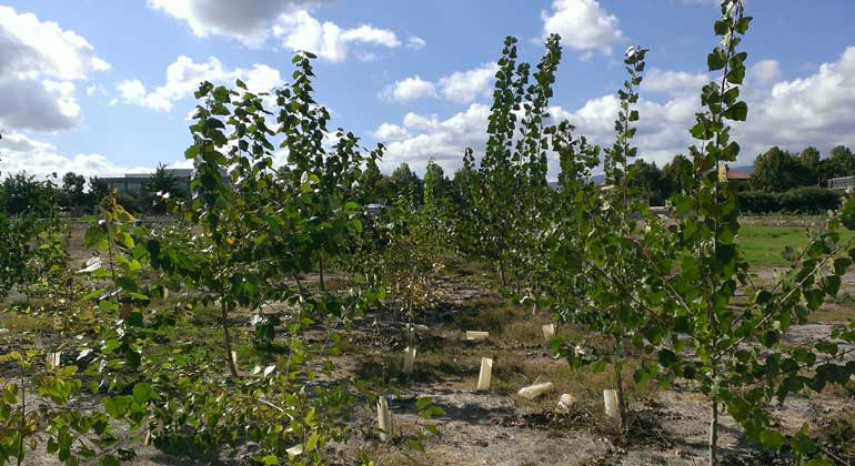 John Freeman/Intrinsyx Technologies Corporation | The darker, taller poplar trees shown at the test site at the end of their third season were inoculated with microbes, while the shorter, lighter-green trees (center row) were not given the bacteria.