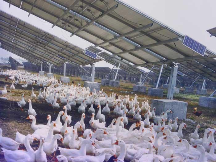 hans-josef-fell.de | Geflügelhaltung unter PV-Modulen in China