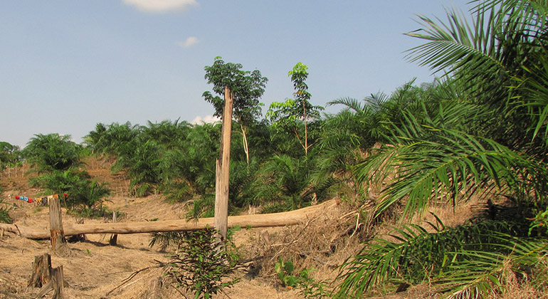 Andrew Barnes | A recently established smallholder oil-palm plantation in the Jambi region of Sumatra, Indonesia