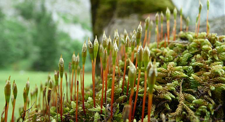 Thomas Kiebacher / Eidg. Forschungsanstalt WSL | Rudolph's trumpet moss is a rare species that is protected throughout Europe and occurs almost exclusively on sycamores. This specimen was found in the Grosser Ahornboden nature reserve in the Austrian Tyrol.