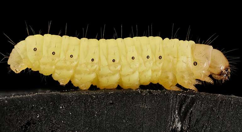 Flickr | UMaryland | SamDroege | Die Große Wachsmotte (Galleria mellonella) ist ein Kleinschmetterling. Sie gehört zur Unterfamilie der Wachsmotten (Galleriinae) und damit zur Familie der Zünsler (Pyralidae).