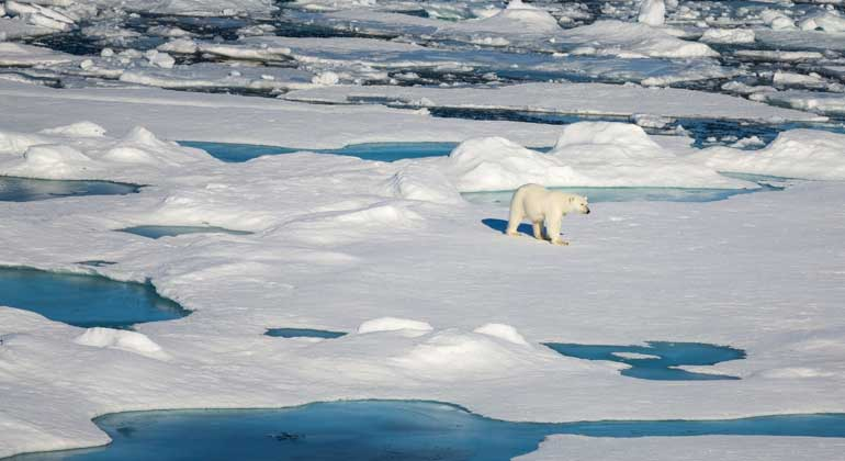 Alfred-Wegener-Institut (AWI) | Stefan Hendricks | Polar bear on arctic sea ice. Polar bears are common exclusively common in the Arctic, the polar region around the North Pole. Most of them stay all year round along the coasts or on the sea ice to hunt seals. They prefer areas where the ice remains in motion by wind and ocean currents and therefore always arise open ice-free locations.In summer, polar bears primarily hold on to the southern edges of the sea ice. With winter they migrate southwards then, the ice-free locations following. It's amazing how agile the largest land predator on the planet moves on the ice and how rare it must swim at that.