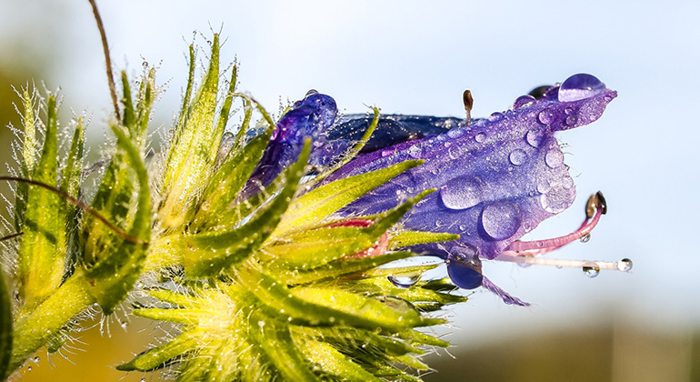 pixabay.com | Kathy2408 | Der Wegerichblättrige Natternkopf ist im südlichen Europa heimisch und bestens an vom Menschen geschaffene Lebensräume angepasst. In Australien und in Südafrika wurde er eingeschleppt und kommt heute in großen Beständen vor