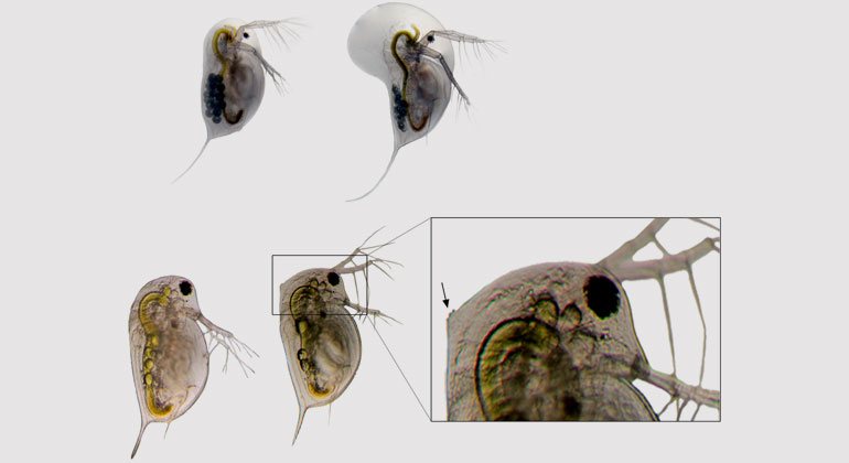 Linda Weiss and Sina Becker | Predator induced defenses in Daphnia longicephala (top row, credit: Linda Weiss) and Daphnia pulex (bottom row, credit: Sina Becker). Left shows an undefended morphotype, right shows the defended morphotype. Insert shows magnification of expressed neckteeth. These morphological features render Daphnia less susceptible to predators. When the expression of these defensive traits is hampered by high levels of pCO2, Daphnia is suspected to fall as prey more easily.