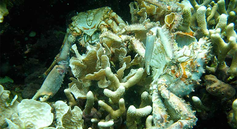 Arcadio Castillo/Smithsonian | Low oxygen caused the death of corals and crabs in Bocas del Toro, Panama.