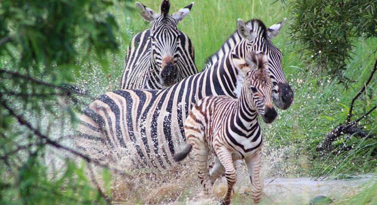 pixabay.com | Beesmurf | Zebras legen bis zu 500 Kilometer zurück - so weit wie kein anderes Säugetier auf der Erde. Menschen schränken den Bewegungsradius der Zebras und anderer Tiere jedoch immer mehr ein. So blockierte beispielsweise von 1968 bis 2004 ein Zaun die Wanderung der Zebras im Okavango-Delta in Botswana. Nachdem das Hindernis entfernt worden war, nahmen die Tiere ihre Wanderungen wieder auf.
