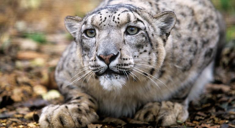 David Lawson / WWF-UK | Snow leopard (Panthera uncia)