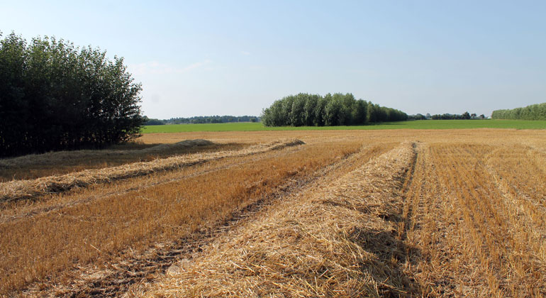 Dr. Christian Böhm/BTU   In der Agroforstwirtschaft werden Bäume und landwirtschaftliche Pflanzen auf einer Fläche nebeneinander angebaut.