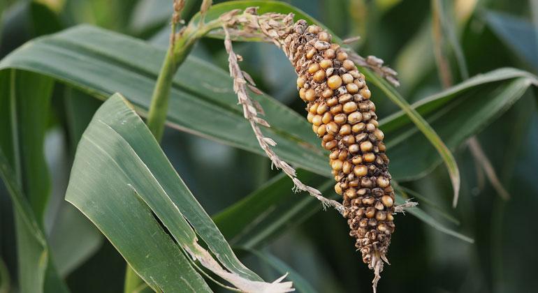 pixabay.com   Ratfink1973   Die Landwirtschaft ist nicht nur Opfer, sondern auch mitverantwortlich für einen wichtigen Teil der Treibhausgas-Emissionen. Um die Folgen des Klimawandels zu minimieren und die Ernährungssicherheit langfristig zu sichern, muss auch die Landwirtschaft Treibhausgase reduzieren.