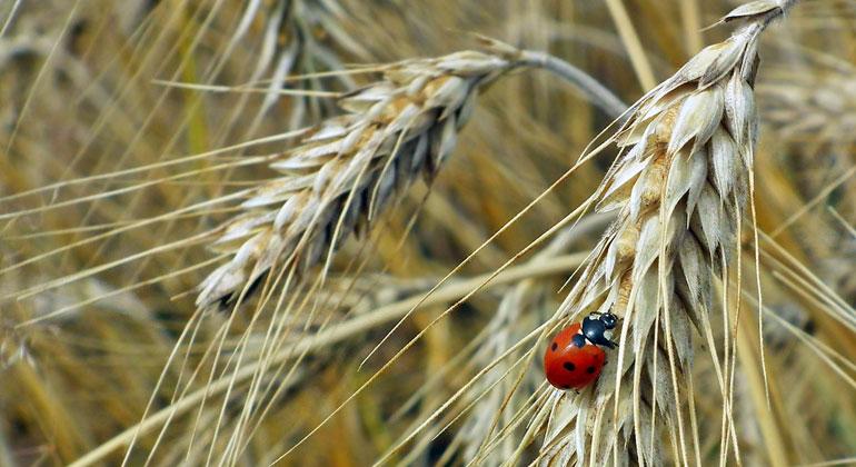 pixabay.com | MrGajowy3 | Bei steigendem CO2-Gehalt in der Luft verliert der Weizen an Eiweißgehalt.