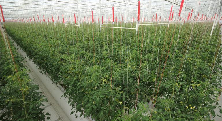 BayWa AG | Zwei Monate nach der Bepflanzung des ersten Klimagewächshauses sind die ersten Snack-Tomaten nun reif zur Ernte.
