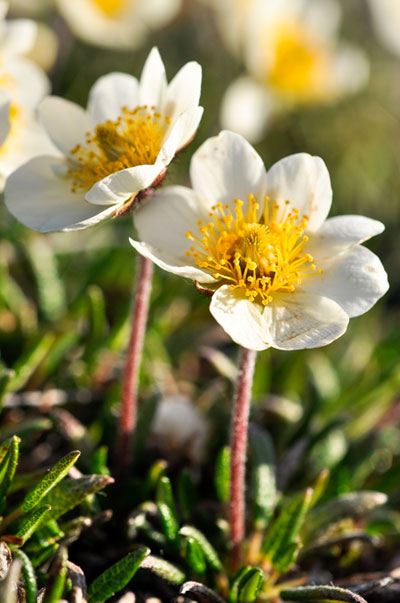 Senckenberg.de | Anne Bjorkman | Surprisingly, comparably shorter species that are typical of the Arctic, such as mountain avens (Dryas integrifolia), are not declining.