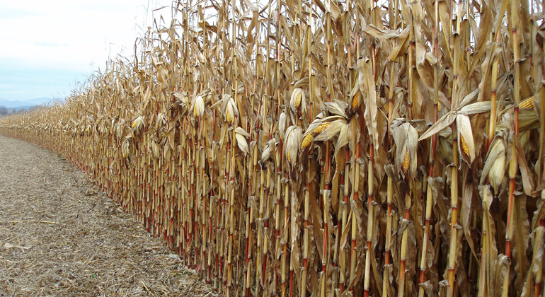 pixelio.de | Maria-Lanznaster | Cornfield after weeks without rain - heatwaves become more likely under climate change.