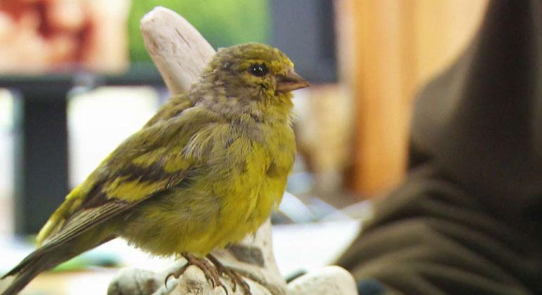 SWR | Adieu Zitronenzeisig – die Erderwärmung bedroht nicht nur kälteliebende Vogelarten.