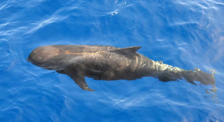 Greenpeace-Kritik an Japans Ausstiegsplänen aus Walfangkommission