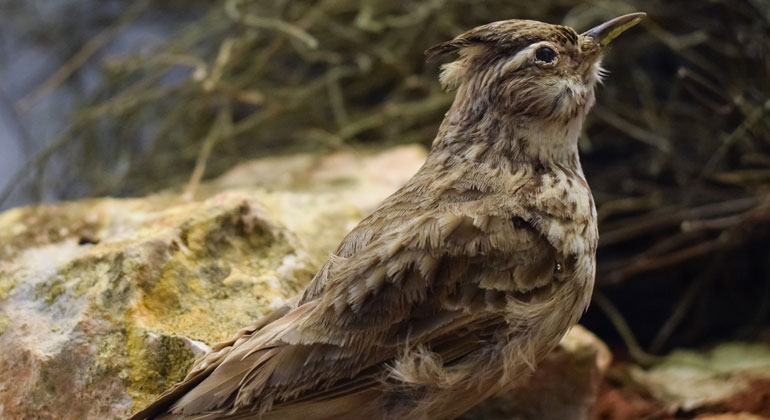 pixabay.com | dimitrisvetsikas1969 | 2019 wurde die Feldlerche zum Vogel des Jahres gekürt - vor 11 Jahren war sie es schon einmal. Laut NABU ist seitdem jede vierte Feldlerche aus dem Brutbestand in Deutschland verschwunden.