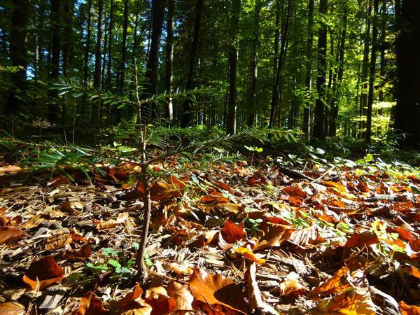 PEFC Deutschland e. V.   Nicht leicht hat es in Zeiten des Klimwandels unser Waldnachwuchs: Dürre und Hitzestress gefährden ihn.