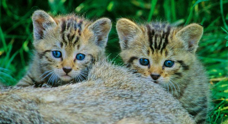 Thomas Stephan / BUND | Junge Wildkatzen