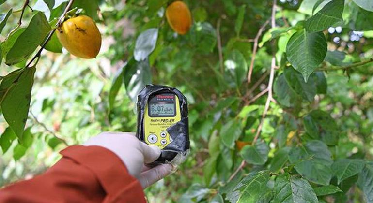 Shaun Burnie / Greenpeace   Die zulässige Höchstdosis liegt in Japan bei 0,23 Mikrosievert pro Stunde. Doch immer wieder finden die Greenpeace-Experten strahlende Hotspots, wie hier in diesem Baum in Namie. Der Grenzwert wird um mehr als das 25-fache überschritten.