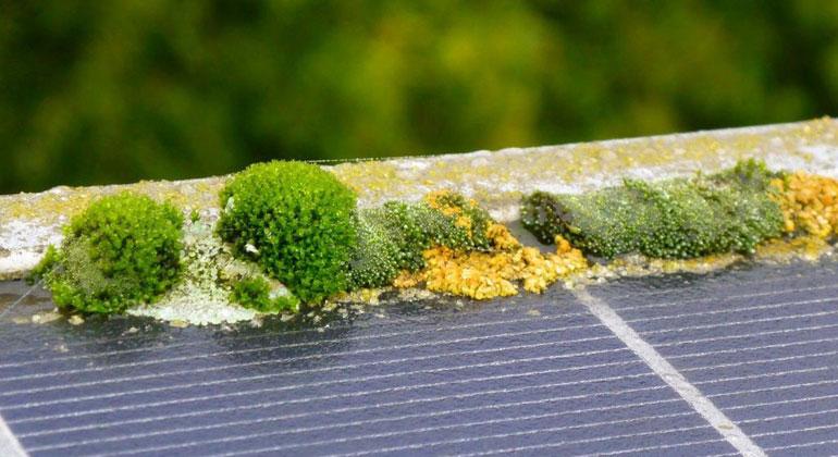 Ökologische Solarreinigung | solarreinigung.com | Die Gewächse setzen sich vor allem im Rahmenschlitz fest.