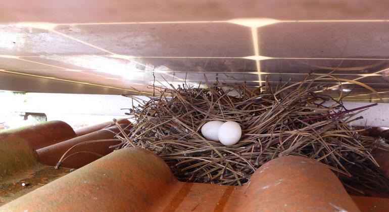 Solarreinigung.com | Unter Aufdachmodulen können sich Tauben ansiedeln mit allem, was dazugehört: Nester, Eier, Kadaver, Schmutz.