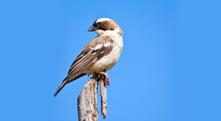 Depositphotos | AOosthuizen | The white-browed sparrow-weaver is one of the 'winners'.
