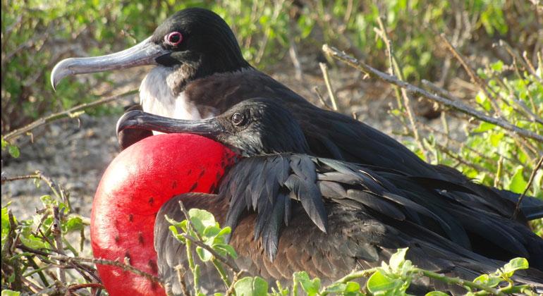 Bigi Alt   Fregattvogel auf Galapagos
