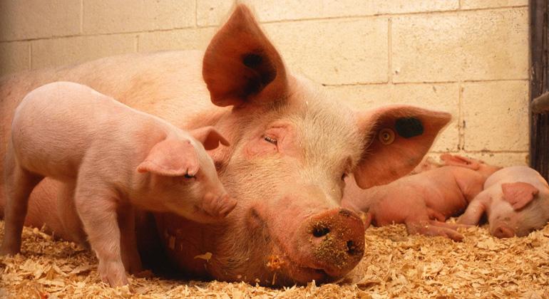 pixabay.com | PublicDomainImages | Umwelt- und tiergerecht erzeugtes Schweinefleisch ist mehr als doppelt so teuer wie konventionelles. Hier muss der Staat nachsteuern, fordern Umwelt- und Tierschützer.
