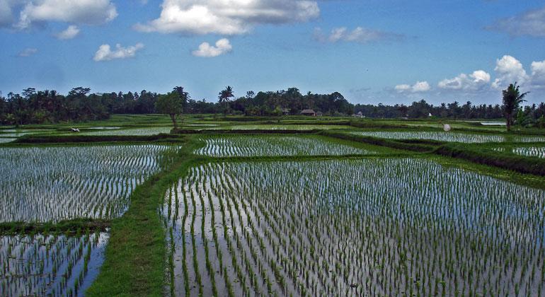 pixelio.de | DrStephanBart | Rohstoff für neuen Kat kommt vom Reisfeld.