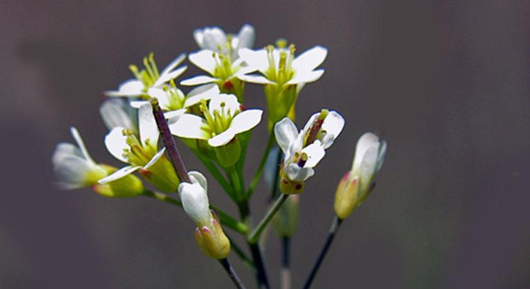 Ackerschmalwand - Arabidopsis thaliana | Wie die Forscher herausfanden, werden einige Pflanzen der Ackerschmalwand durchaus auch bei starker Trockenheit und Hitze überleben können.