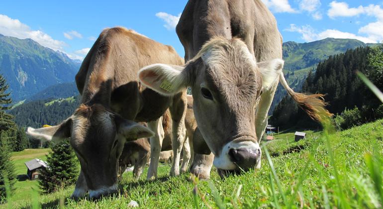pixabay.com | Pixel-Sepp | Laut den Wissenschaftler*innen wird als erstes die Massentierhaltung der Kuh verschwinden. Die Kuh in der Massentierhaltung, ist der ineffizienteste Teil des heutigen Agrarsystems, denn alleine hier sind neue Herstellungsmethoden bis zu 100-mal flächen-, 20-mal zeit- und 10-mal wassereffizienter.