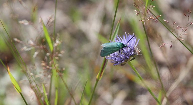 Grünland: Auswirkungen der Mahd auf Insekten