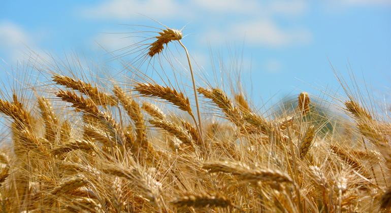 Klimawandel sorgt für Ertragseinbußen bei Weizen