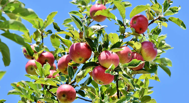 New paper: more frost damage of apple trees