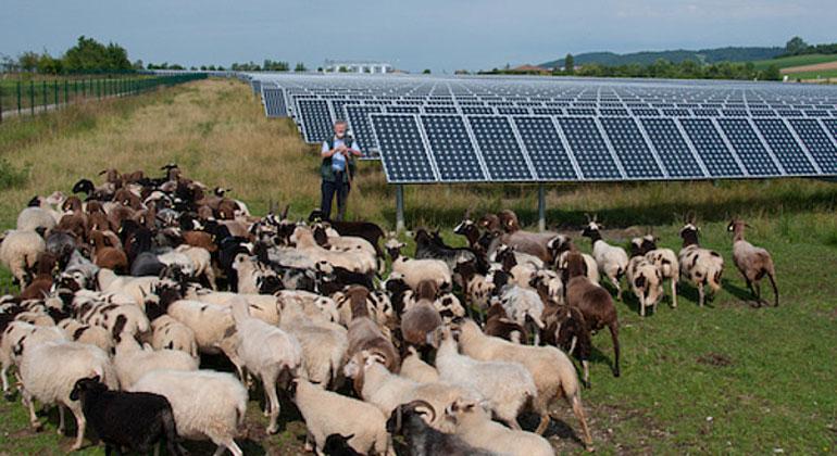 dgs.de | Glossner | Solarschäfer Johann Glossner mit seinen Schafen in der Freiflächen-Solaranlage