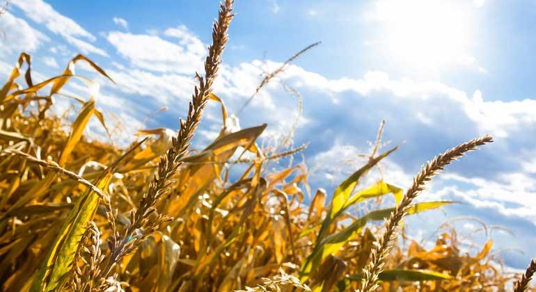 pixabay.com | RemazteredStudio | Hitzewellen und damit einhergehende Risiken für Ernten können häufiger werden und gleichzeitig mehrere Hauptanbaugebiete der Nordhalbkugel treffen.