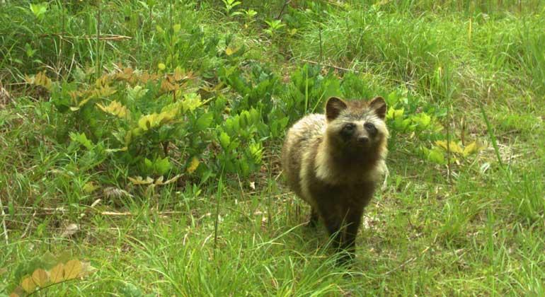 University of Gerogia/ Lyons et al. | Raccoon dog - Marderhund