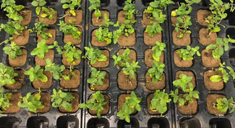Fujian Agriculture and Forestry University | Auf Bodenproben mit unterschiedlicher Blei-Belastung wuchsen Pfefferminzpflanzen. Anschließend wurde der Bleigehalt in ihren Blättern analysiert